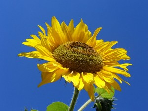 800px-Sunflower_from_Silesia