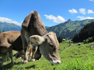 milk-cow-cow-austria-mountains-graze-dairy-cows