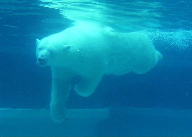 Polar bear swimming in ocean - photo#37